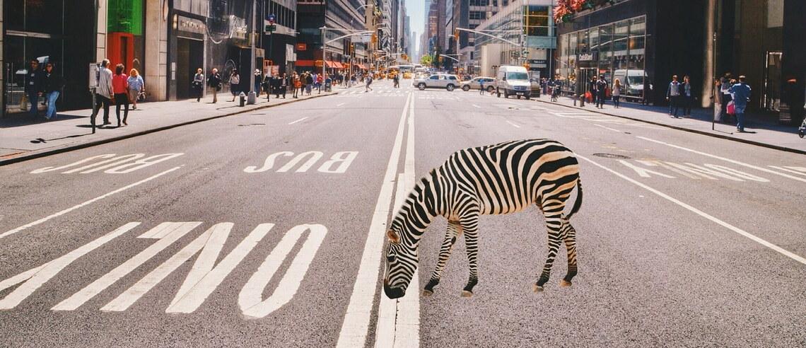 Ein Zebra steht auf einer Straße in New York.