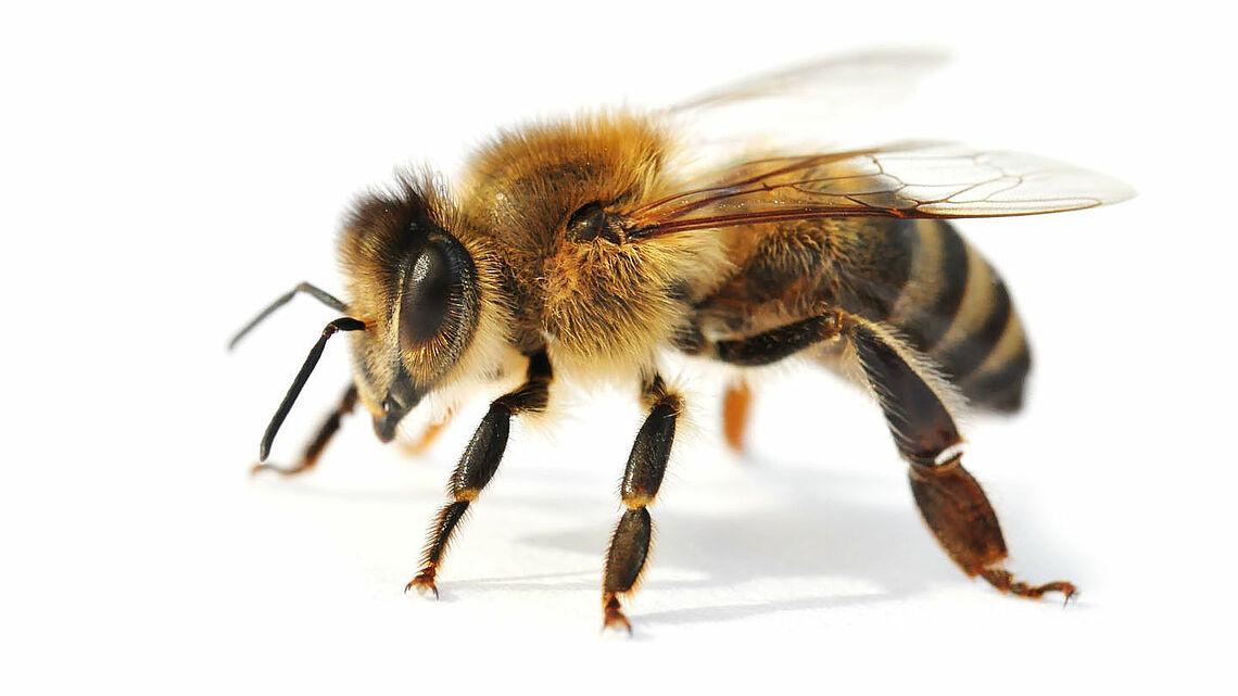 Der Körper einer Biene