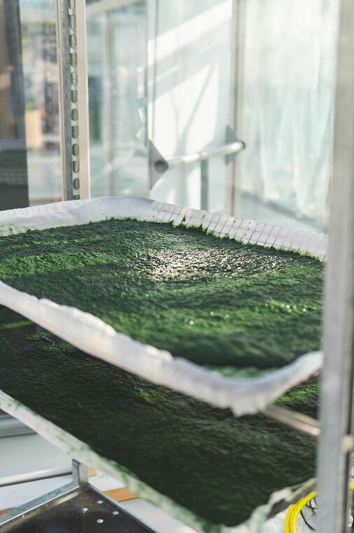 Algen von Windcloud