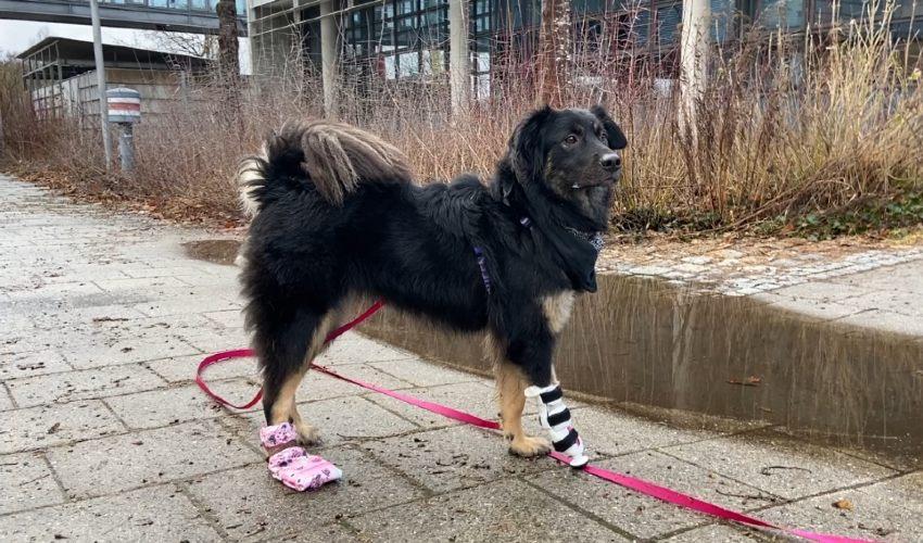 Ein Hund mit einer vorläufigen Prothese. ©3D Natives